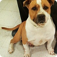 Adopt A Pet :: Buster the English Bulldog - Midlothian, VA