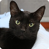 Domestic Shorthair Cat for adoption in Sarasota, Florida - Stardust
