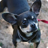 Adopt A Pet :: Buster Brown - Atlanta, GA
