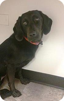 Retriever (Unknown Type)/Hound (Unknown Type) Mix Puppy for adoption in Chicago, Illinois - Treble