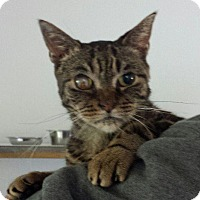 Domestic Shorthair Cat for adoption in Brainardsville, New York - Ellie