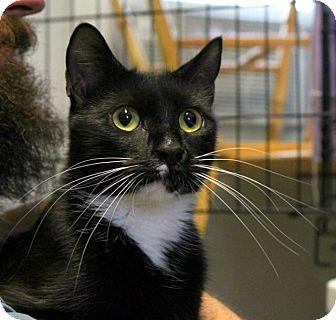 Domestic Shorthair Kitten for adoption in Warwick, Rhode Island - Cleo