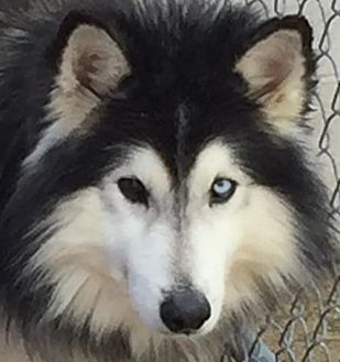 Siberian Husky Dog for adoption in Memphis, Tennessee - Buddha~Feral!