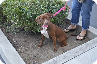 Labrador Retriever Mix Dog for adoption in Lodi, California - Lucy