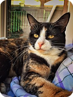 Calico Cat for adoption in Van Nuys, California - Flower