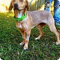 Adopt A Pet :: Lola meet me 10/28 - Manchester, CT