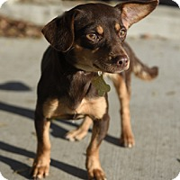 Adopt A Pet :: BECCA - Pt. Richmond, CA