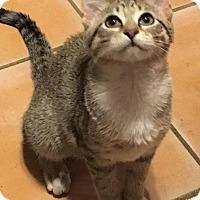 Adopt A Pet :: Aubree - St. Louis, MO