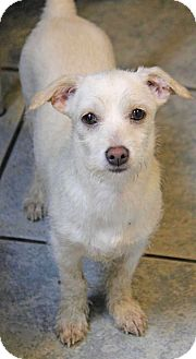 Chihuahua/Terrier (Unknown Type, Small) Mix Puppy for adoption in Yuba City, California - Cheerio
