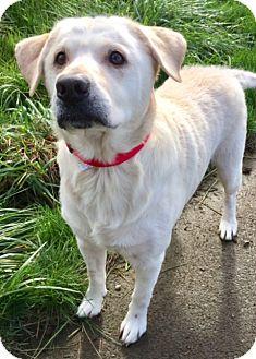 Labrador Retriever Dog for adoption in Newport, Oregon - PICKLES