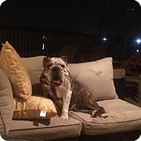 English Bulldog Dog for adoption in Odessa, Florida - penny