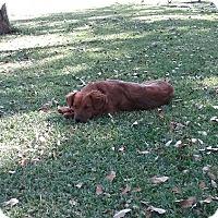 Adopt A Pet :: Bridget - Boerne, TX