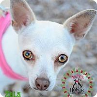Adopt A Pet :: Zala - Bradenton, FL