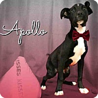 Adopt A Pet :: *APOLLO - Sugar Land, TX