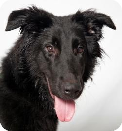 Border Collie/Labrador Retriever Mix Dog for adoption in Brooklyn, New York - Tonka