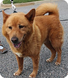 Chow Chow Mix Dog for adoption in Midlothian, Virginia - Mickey (SENIOR)