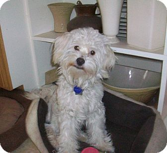 Maltese/Lhasa Apso Mix Dog for adoption in Studio City, California - Scarlatti
