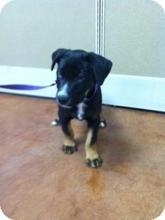 Catahoula Leopard Dog/Labrador Retriever Mix Puppy for adoption in ...