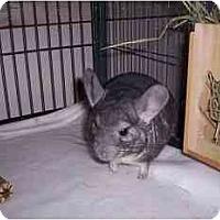 Adopt A Pet :: Chollo (Houston) - Avondale, LA