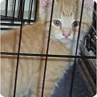 Adopt A Pet :: Orange Kitten - Westfield, MA