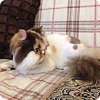 Adopt A Pet :: Suki - Beverly Hills, CA
