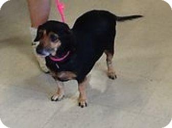 Dachshund Mix Dog for adoption in Houston, Texas - Skippy