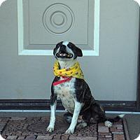 Adopt A Pet :: Frenchie - Huntsville, TN