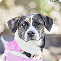 Adopt A Pet :: Lace - Kingwood, TX