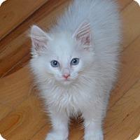 Adopt A Pet :: Iceman - Davis, CA