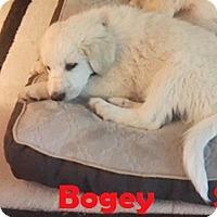Adopt A Pet :: Bogey  *Adopted - Tulsa, OK