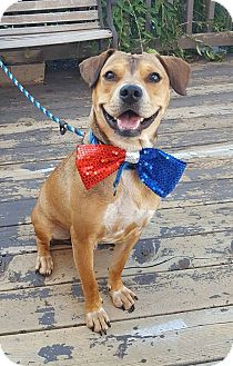 Hound (Unknown Type) Mix Dog for adoption in St. Charles, Missouri - Copper