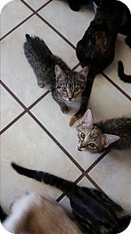 Domestic Shorthair Kitten for adoption in Chippewa Falls, Wisconsin - Quartz