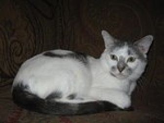 Domestic Shorthair Cat for adoption in Arlington, Texas - Bernie