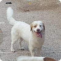 Adopt A Pet :: TX/Ted - St Louis, MO