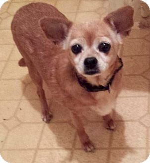 Chihuahua Dog for adoption in Wallingford Area, Connecticut - Daisy Mae