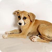 Adopt A Pet :: Hannah Boxer Mix - St. Louis, MO
