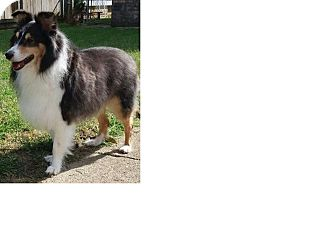 Sheltie, Shetland Sheepdog Dog for adoption in COLUMBUS, Ohio - Remington