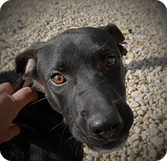 Labrador Retriever Mix Dog for adoption in Wilmington, Ohio - Pierre