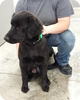 Labrador Retriever Mix Dog for adoption in Paducah, Kentucky - Fulmer