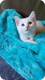Domestic Shorthair Kitten for adoption in Florence, Kentucky - Otis