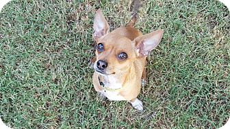 Chihuahua Mix Dog for adoption in Allentown, Pennsylvania - Ernie (200 adoption fee)