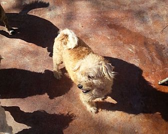 Poodle (Miniature)/Maltese Mix Dog for adoption in Dothan, Alabama - Traveler