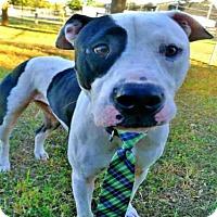 Adopt A Pet :: DODGER - Tavares, FL