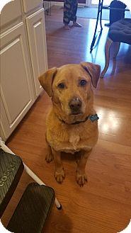 Labrador Retriever Mix Dog for adoption in New Albany, Ohio - Buddy