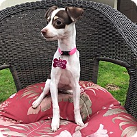 Fox Terrier (Smooth) Mix Puppy for adoption in La Verne, California - Ginny
