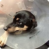 Adopt A Pet :: Hailey - Redmond, WA