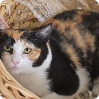 Adopt A Pet :: Cabernet - Bristol, CT