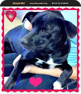 Labrador Retriever/Border Collie Mix Puppy for adoption in Scottsdale, Arizona - Jet
