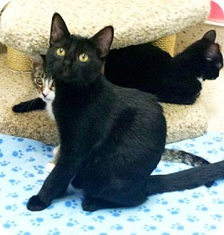 Domestic Shorthair Kitten for adoption in Red Bluff, California - Solange