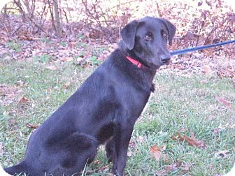 Labrador Retriever/Collie Mix Dog for adoption in New Castle, Pennsylvania - Corky
